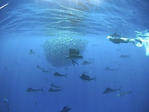 sailfishgallery01