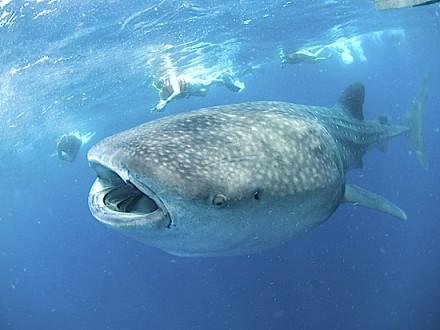 whalesharkgallery02