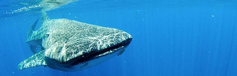 whalesharkbannerslider6